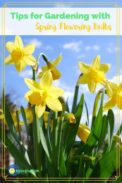 "daffodils with text overlay ""Tips for Gardening with Spring Flowering Bulbs"""