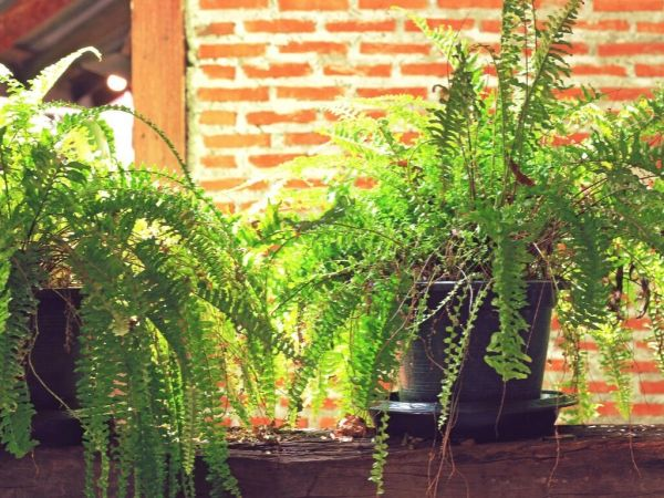 indoor fern plants