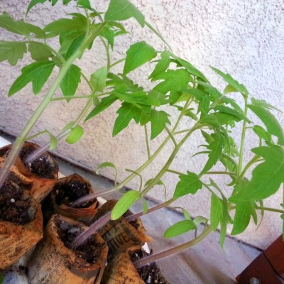 tomato seedlings ready to transplant