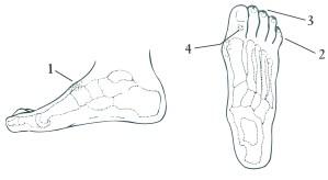 Figura lateral y dorso del pie