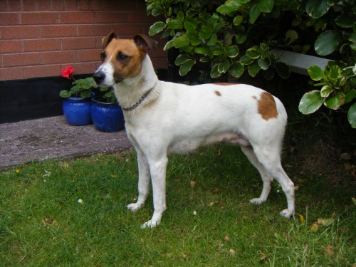Female Jack Russell X Greyhound Found In Ballyvolane Cork