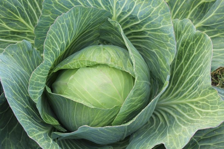 white-cabbage-432608_1280.jpg
