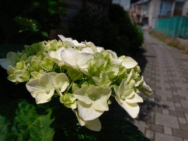 ありきたりな風景写真・2017-5-30 初旬のあじさい