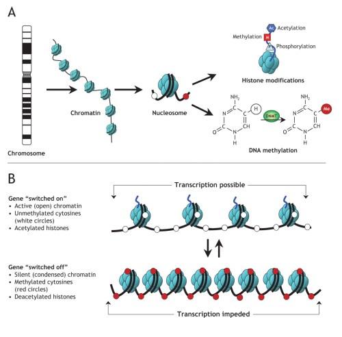 En estas dos imágenes se explica gráficamente cómo la molécula de ADN se empaqueta alrededor de las histonas, formando la cromatina (arriba), y además cómo las modificaciones en las histonas (acetilaciones, metilaciones y fosforilaciones) o en el propio ADN (metilaciones) facilitan o impiden la transcripción de los genes: es decir, su lectura y posterior conversión a proteínas (http://cnx.org/content/m26565/latest/)