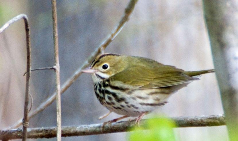 ovenbird_042014