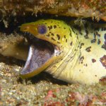 Yellow-Head Moray Eel with shrimp in his mouth