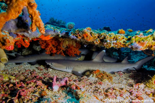 Resting Wite Tip Reef Shark in Sahaung Bangka underneath a table coral