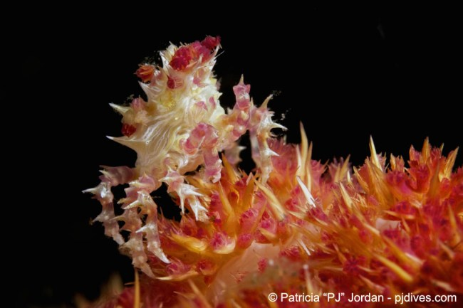 Crustaceans of North Sulawesi with the Soft Coral Candy Crab