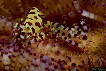 Periclimenes Colemani - Coleman Shrimp