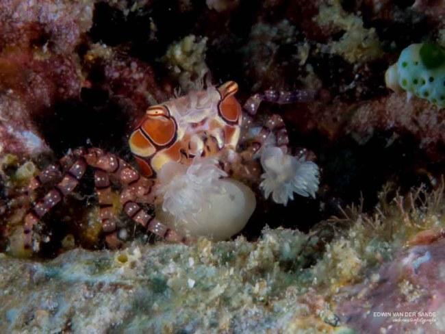 Mosaic Boxer Crab (Lybia tesselata)