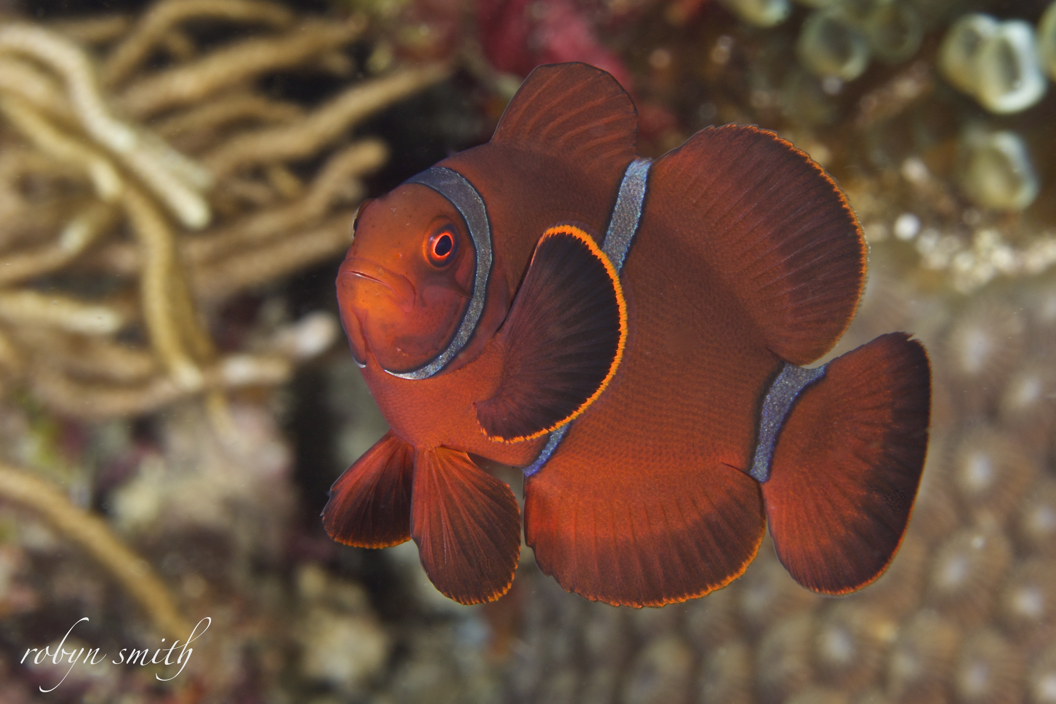 anemone fish Archives - Murex Dive ResortsMurex Dive Resorts