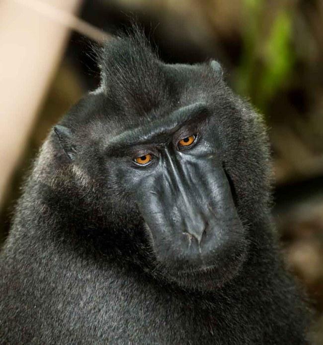 Black Macaque in Tangkoko National Park