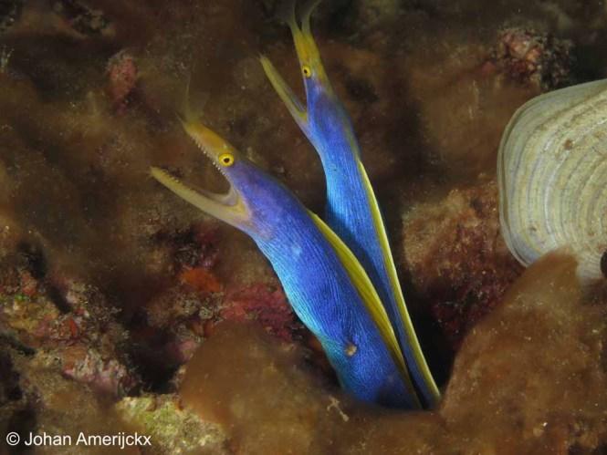 Blue Ribbon eel (Rhinomuraena quaesita)