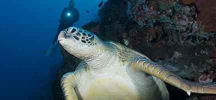 Diving-Manado-Bunaken-Turtle