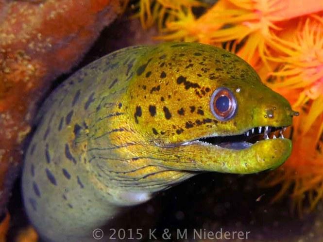Fimbriated Moray Eel (gymnothorax fimbriatus)