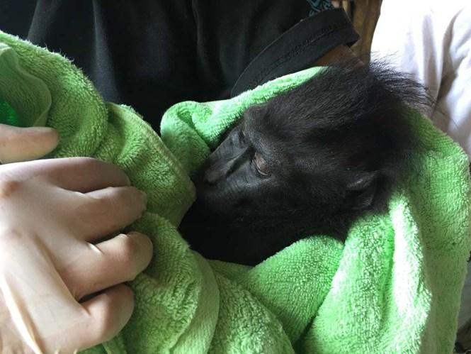 Black Macaque rescue