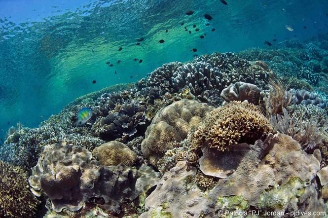 Bunaken hard corals