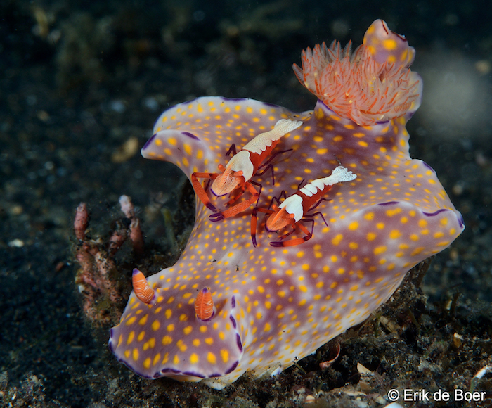Ceratosoma nudibranch