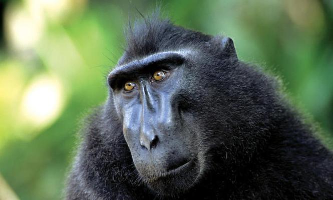 Macaque-Sulawesi