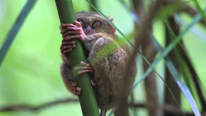 tarsier Tangkoko