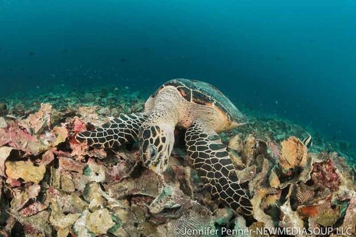 Hawksbill turtle foraging