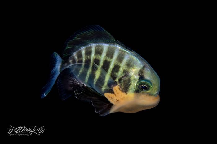 Juvenile blackwater diving