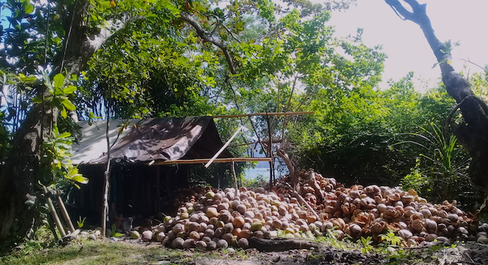 Coconut farming Bangka Village