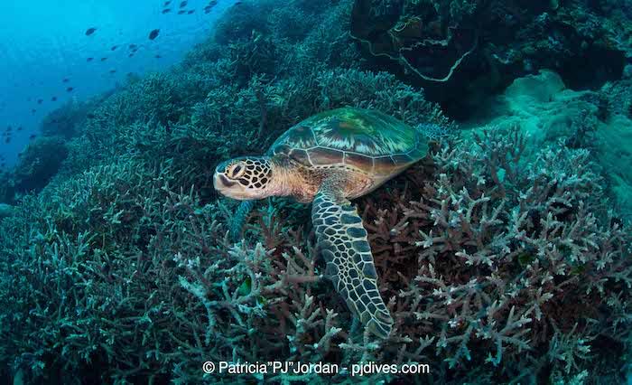 Bunaken turtles