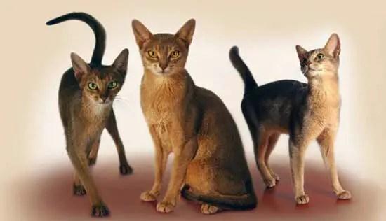 Kucing Abyssinian - ras kucing terbaik untuk rumah