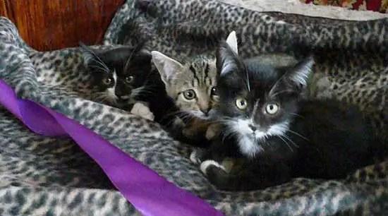 ras kucing terbaik untuk anak-anak.  Jenis kucing apa yang harus dipilih?