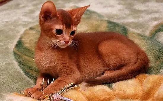 warna coklat kemerah-merahan kucing abyssinian