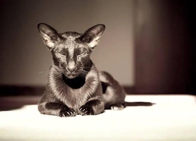 perawatan dan perawatan kucing oriental