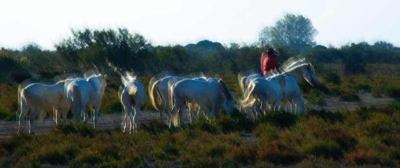 La camargue : des chevaux