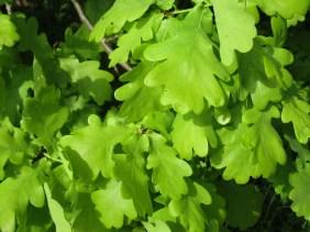 Das schönste Frühlingsgrün, in Eiche