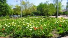 Und gleich dahinter die ersten Tulpen