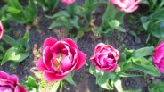 TulipanZauberblüte_6728