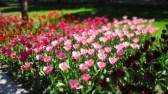 TulipanZauberblüte_6737