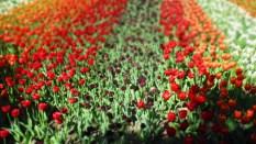TulipanZauberblüte_6761
