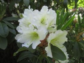 TulipanZauberblüte_6777