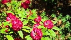 TulipanZauberblüte_6781