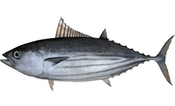 black-fin-tuna