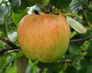 Apples - James Grieve