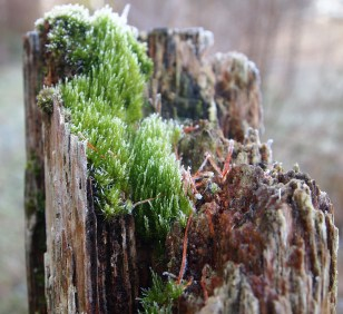 Moss on rotting post