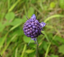 Not fully open Devil's bit scabious