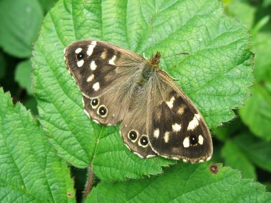 Speckled wood butterflies are commonly found in hedgerow habitats