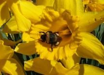 Bumble on daffodil