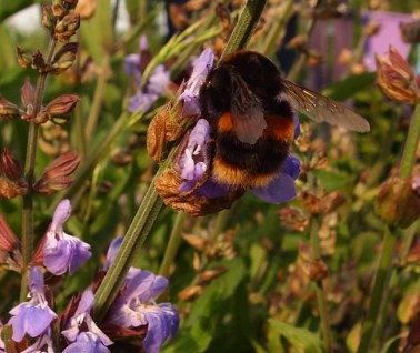 Buff tailed bumble on sage