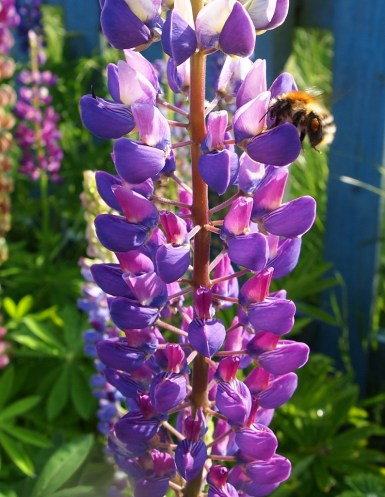 Lupins with carder bee