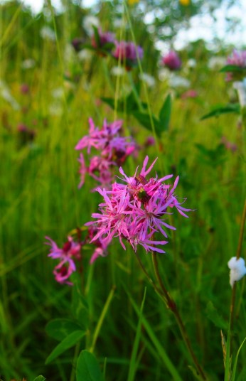 Ragged robin in meadow