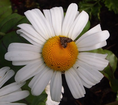 Micro moth on ox-eyed daisy